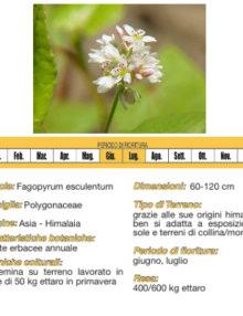 seme-di-grano saraceno400x400