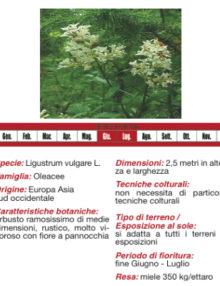 ligustro-olivella400x400