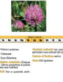 semi-di-trifoglio-violetto400x400