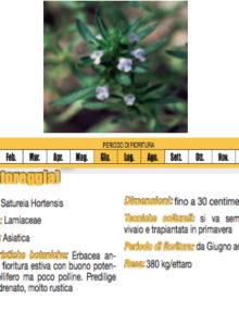 semi-satureya-hortensis400x400
